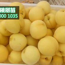 黄桃树苗价格、1公分黄桃树苗批发行情图片