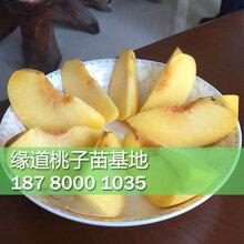 黄桃树苗几年结果,黄桃树苗多少钱一棵图片
