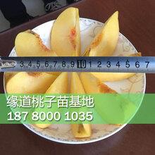 重庆黄桃树苗种植基地,重庆黄桃苗基地哪家好图片