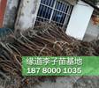 李子树苗批发,1-3公分李子果树苗培育基地