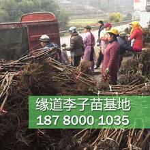 李子苗價格多少李子樹苗市場出售報價圖片
