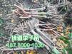 陜西鳳凰李子樹苗培育2019年鳳凰李子苗批發