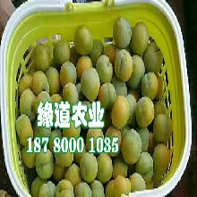 蜂糖李子苗、1年生贵州蜂糖李树苗多少钱一棵图片
