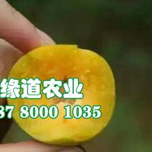 蜂糖李子苗、3公分重庆蜂糖李子树苗品种介绍图片