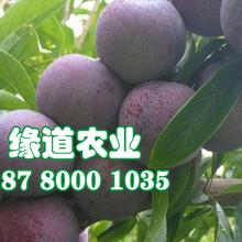 脆红李子树苗,脆红李子树苗价格图片