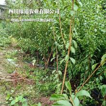 重庆武隆凤凰李树苗、凤凰李树苗价格图片