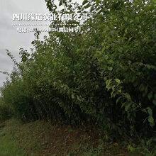 安康凤凰李子苗,安康凤凰李子苗生产基地图片