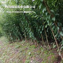 凤凰李树,早熟凤凰李子苗,江苏凤凰李子树苗现在价格图片