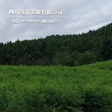 万盛凤凰李子树苗栽种密度万盛凤凰李子树苗产量稳定图片