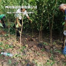 5厘米凤凰李苗,攀枝花凤凰李苗生长期技术图片