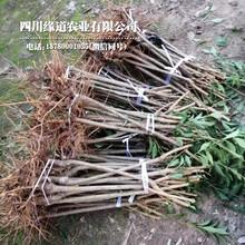 4公分凤凰李子树苗,河源凤凰李子树苗报价图片