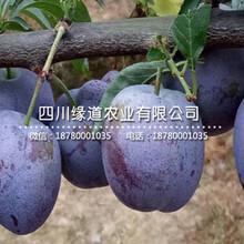 重庆渝北五月脆李苗_五月脆李树苗多少钱一颗?图片