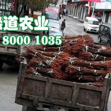 2-4公分五月脆李子苗_2-4公分广东五月脆李子苗零售价格图片