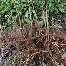 广西河池李子树苗,李子果树苗基地哪家好图片
