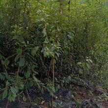 李子树,晚熟李子苗,柳州李子苗栽种时间图片