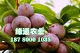 貴州脆紅李子樹苗物候期。貴州脆紅李子樹苗全國均可發貨