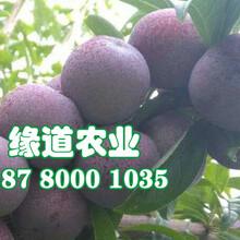 双桥脆红李树苗品种纯正。双桥脆红李树苗今年价格图片