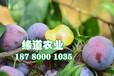 脆紅李樹,晚熟脆紅李子苗,梧州脆紅李樹苗廠家