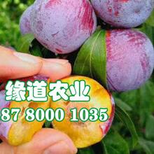 泸州脆红李子苗-泸州脆红李子苗环境要求图片