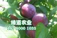 常德脆紅李子樹苗成活率高_常德脆紅李子樹苗產量穩定