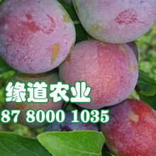 脆红李树,晚熟脆红李子苗,荣昌晚熟脆红李苗销售图片