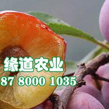 仙桃脆红李子苗-仙桃脆红李子苗种植和记娱乐注册活图片