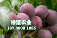 脆紅李樹,晚熟脆紅李子苗,云南脆紅李樹苗批量出售