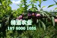 重慶脆紅李苗苗圃基地。重慶脆紅李苗種植技術
