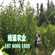 新疆脆红李树苗批发基地。新疆脆红李树苗销售图片