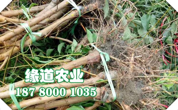 脆紅李樹,晚熟脆紅李子苗,新疆晚熟脆紅李苗補肥技術