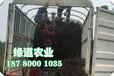 楚雄脆紅李樹苗-3-5公分脆紅李樹苗生產廠家