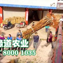 九龙坡晚熟脆红李苗品种繁多。九龙坡晚熟脆红李苗今日报价图片