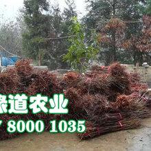 自贡脆红李子树苗-3公分脆红李子树苗容易栽活图片