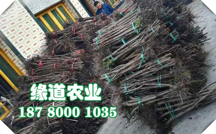 红河脆红李子树苗-2年生脆红李子树苗现挖现卖