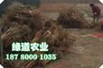 脆紅李樹,晚熟脆紅李子苗,楚雄脆紅李苗預防花期凍害