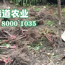 脆红李树,晚熟脆红李子苗,南宁脆红李树苗见效快图片