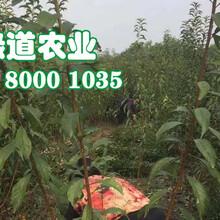 新疆脆红李苗单价。新疆脆红李苗秋季管理图片