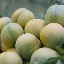 蜂糖李树,早熟蜂糖李子苗,湛江蜂糖李树苗新品种价格图片