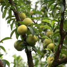 江门蜂糖李树苗生产基地、江门蜂糖李树苗肥水管理图片
