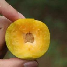 贵州黔东南蜂糖李苗_蜂糖李种苗多少钱图片