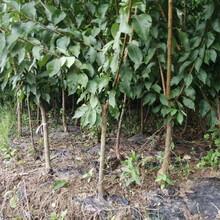 奉节蜂糖李子树苗,2-4公分奉节蜂糖李子树苗冬季修枝图片