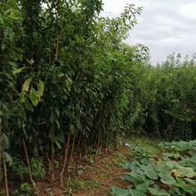 泸州蜂糖李子苗,5cm泸州蜂糖李子苗佳种植时间图片