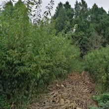 蜂糖李树,早熟蜂糖李子苗,酉阳蜂糖李苗挂果图片图片