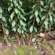 泸州蜂糖李子树苗,泸州蜂糖李子树苗批发图片