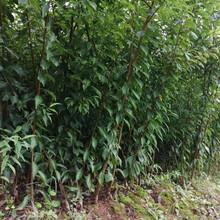 德阳蜂糖李子树苗,1cm德阳蜂糖李子树苗品种简介图片