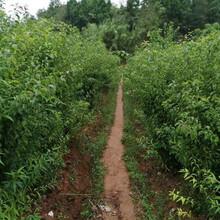 黔东南早熟蜂糖李苗供应商、黔东南早熟蜂糖李苗产地直销图片