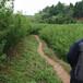 新疆蜂糖李子苗,1-2公分新疆蜂糖李子苗成活率高