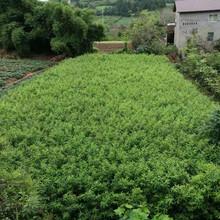 江门蜂糖李子苗,江门蜂糖李子苗种植基地图片