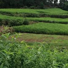 蜂糖李树,早熟蜂糖李子苗,眉山蜂糖李树苗全国供应图片