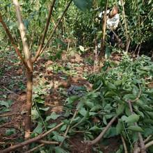 遵义蜂糖李苗,5厘米遵义蜂糖李苗生产厂家图片